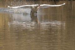 Белый лебедь в полете стоковое изображение rf