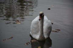 Белый лебедь в пруде парка Стоковые Изображения
