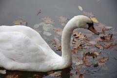 Белый лебедь в пруде парка Стоковое Изображение RF