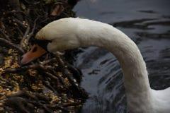 Белый лебедь в пруде парка Стоковая Фотография RF