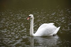 Белый лебедь в пруде парка Стоковое Фото