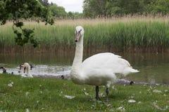 Белый лебедь из воды Стоковые Фото