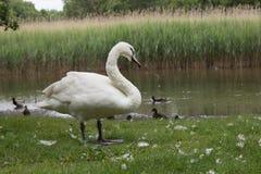 Белый лебедь из воды Стоковое Изображение RF