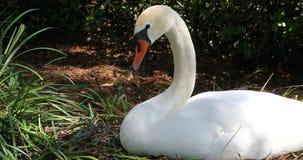 Белый лебедь лежа на гнезде акции видеоматериалы