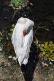 Белый лебедь нагревает его клюв на пляже озера Orestias Стоковое Изображение RF