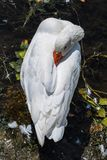Белый лебедь нагревает его клюв на пляже озера Orestias Стоковые Изображения RF