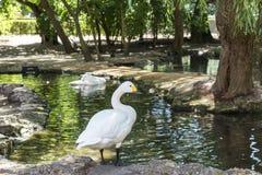 Белый лебедь на береге пруда, зоологического сада Askania-Новы национального заповедника, Украины Стоковая Фотография RF