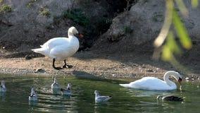 Белый лебедь на пруде сток-видео