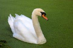 Белый лебедь на пруде с duckweed Стоковые Фотографии RF
