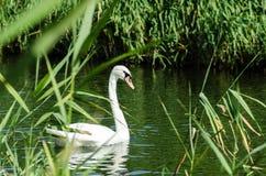 Белый лебедь на реке в тростниках Стоковое Изображение RF