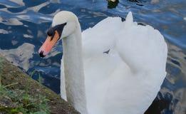 Белый лебедь на реке Темзе стоковое фото rf