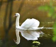 Белый лебедь плавая на пруд Стоковое Изображение