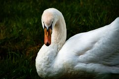 Белый лебедь смотря в камеру Стоковые Фотографии RF