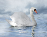 Белый лебедь Стоковое Фото