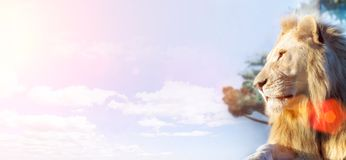 Белый лев Заботливый взгляд в расстояние Животный хищник в одичалом Запачканная слепимость предпосылки и солнца Стоковые Изображения RF