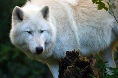 белый ледовитый волк скрываясь в лесе Стоковые Изображения