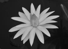 Белый Лилль Стоковые Фото
