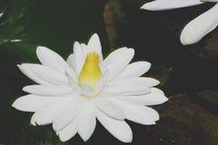 Белый лотос Будды в черном backgound стоковое изображение rf