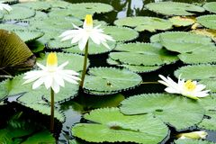 Белый лотос зацветая в свете утра со своим большим зеленым пастбищем Стоковые Фото