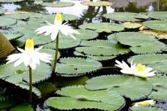 Белый лотос зацветая в свете утра со своим большим зеленым пастбищем стоковое фото rf