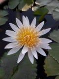 Белый лотос стоковое фото rf