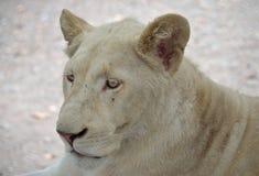 Белый львев стоковые изображения rf
