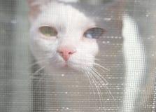 Белый любопытный кот с пестроткаными глазами отжал свой нос к th стоковые фото