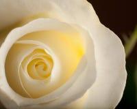 Белый макрос Rose стоковое изображение rf