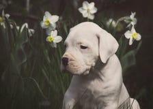 Белый милый щенок Dogo Argentino сидя в daffodils Стоковое фото RF