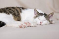 Белый молодой кот сон в доме стоковая фотография rf