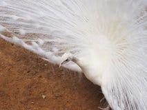 Белый мужской павлин показывая свой кабель Стоковая Фотография