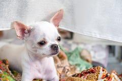 Белый небольшой щенок чихуахуа сидя и смотря стоковое фото