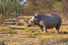 Белый носорог в Ботсване Стоковые Изображения RF