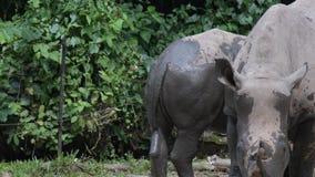 Белый носорог в зоопарке Угрожаемый белый носорог пока ел в лесе видеоматериал