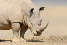 Белый носорог в среду обитания природы, Кения, Африка Стоковое Изображение RF