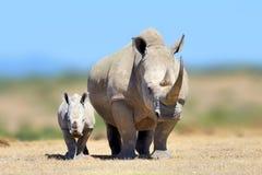 Белый носорог в среду обитания природы, Кения, Африка Стоковые Изображения