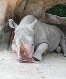 Белый носорог или белый носорог стоковые фотографии rf
