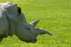 Белый носорог на траве стоковые фотографии rf