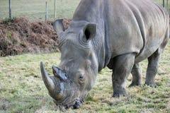 Белый носорог пася Стоковые Изображения RF