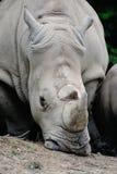 Белый носорог Стоковые Изображения