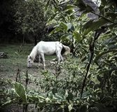 Белый одичалый пони Стоковая Фотография