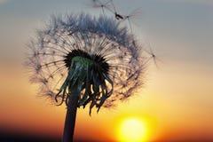 Белый одуванчик в небе с солнцем Стоковое Фото
