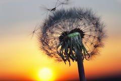 Белый одуванчик в небе с солнцем Стоковая Фотография
