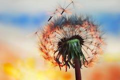 Белый одуванчик в небе с солнцем Стоковые Изображения RF