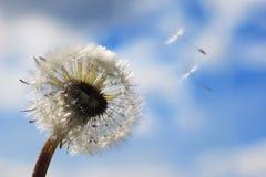 Белый одуванчик в небе Стоковое фото RF