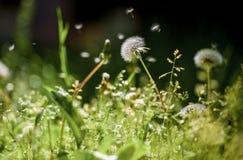 Белый одуванчик на лужайке солнечный день стоковые изображения rf