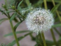 Белый одуванчик распространяя свои семена стоковое фото