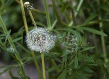 Белый одуванчик распространяя свои семена стоковое изображение