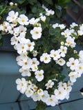 Белый отставать Bapca стоковая фотография rf