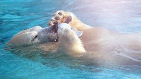 Белый охотник полярного медведя на льде в воде падает Стоковое фото RF